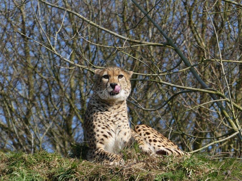 猎豹坐舔它的嘴唇的小山 免版税库存照片