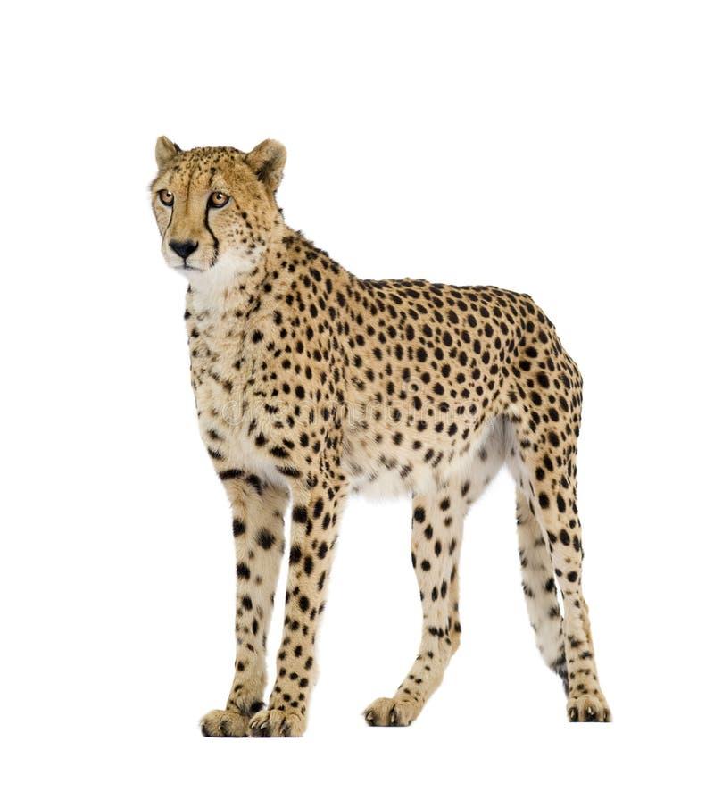猎豹属猎豹jubatus 免版税图库摄影
