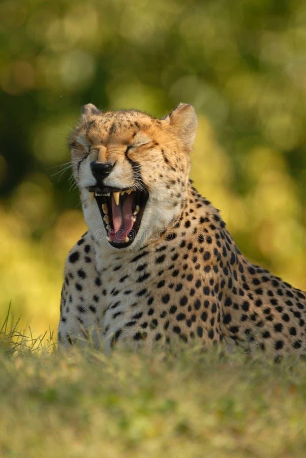 猎豹属jubatus 免版税库存照片