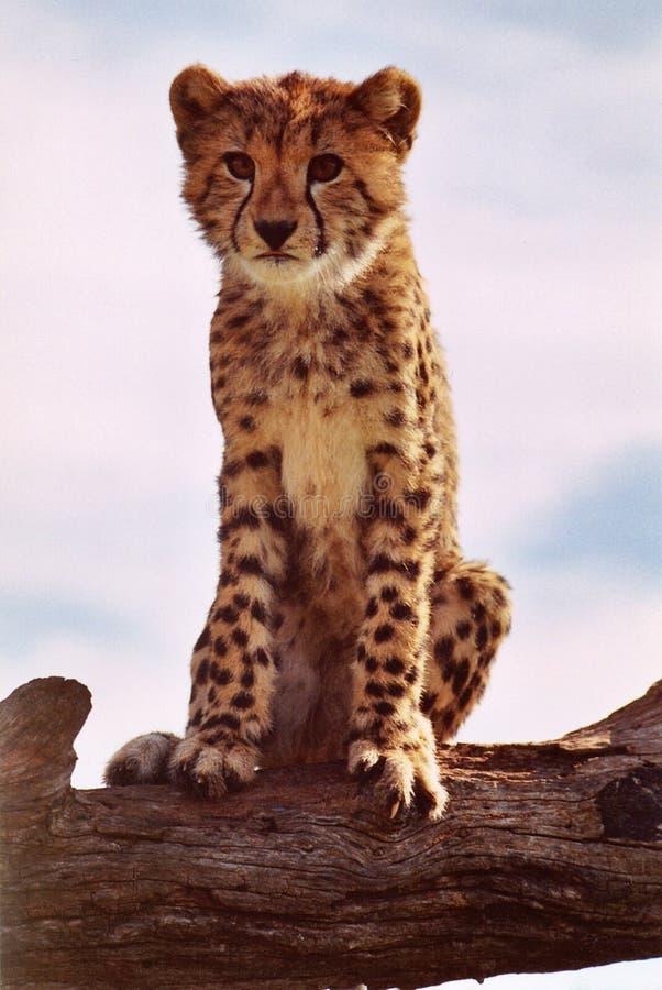 猎豹崽坐树干 免版税图库摄影