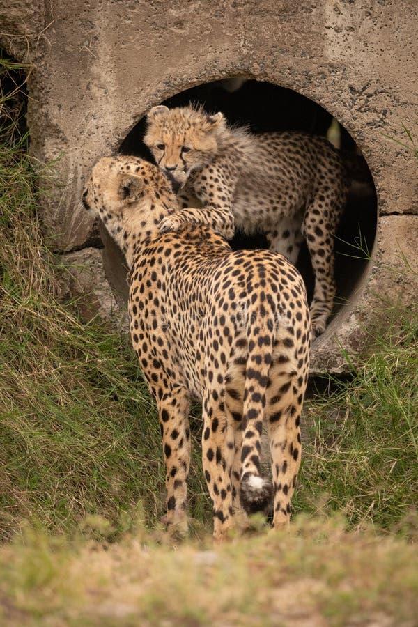 猎豹崽鼻插入从具体管子的母亲 库存照片