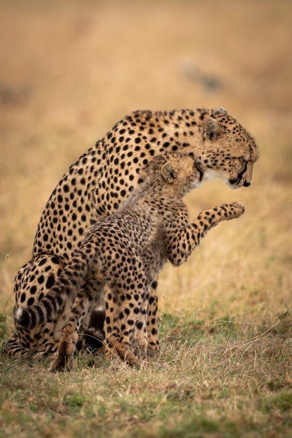 猎豹崽鼻插入母亲并且举爪子 免版税库存照片