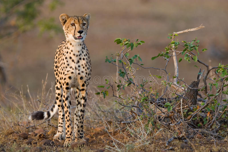 猎豹年轻人 库存照片