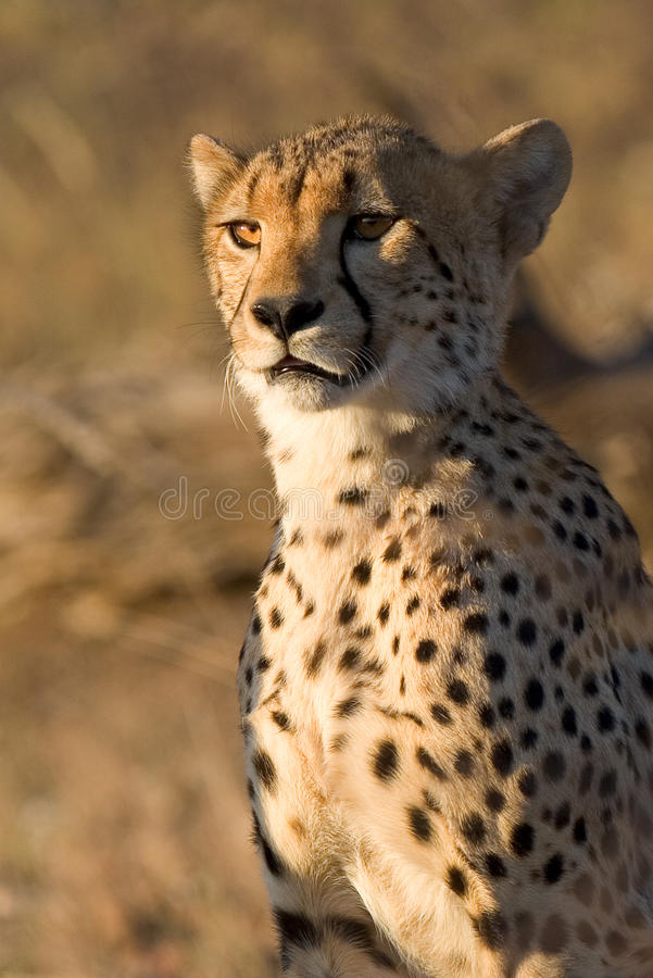 猎豹年轻人 免版税库存照片