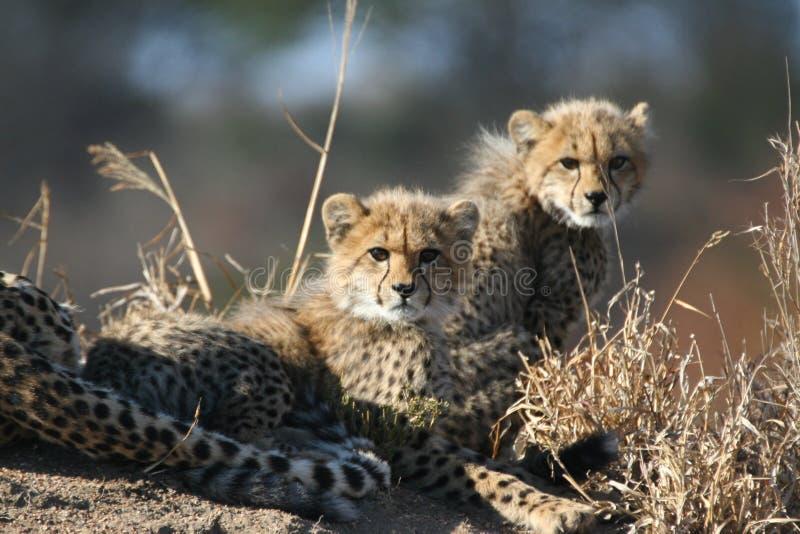 猎豹当幼童军母亲 免版税图库摄影