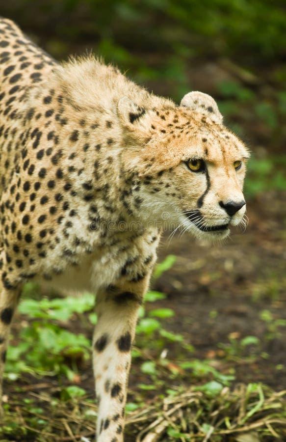 猎豹或猎豹属jubatus 库存照片