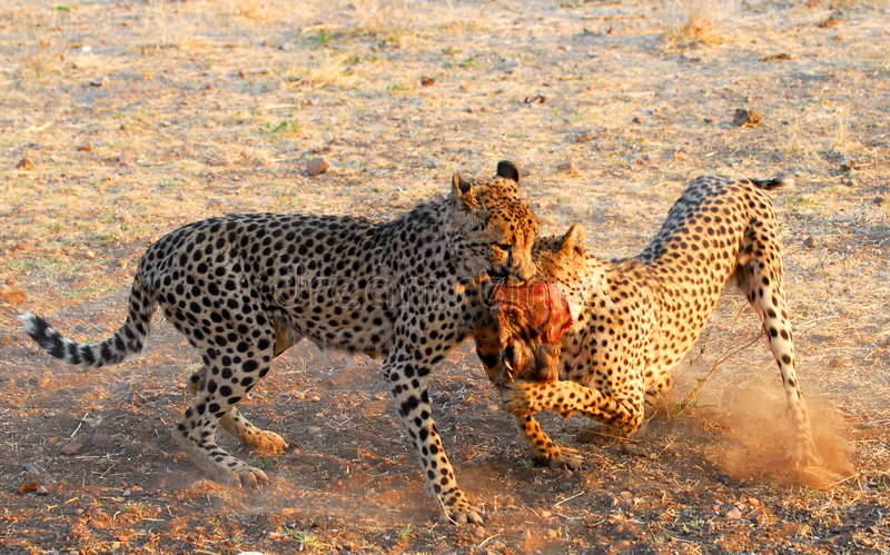 猎豹战斗 免版税图库摄影