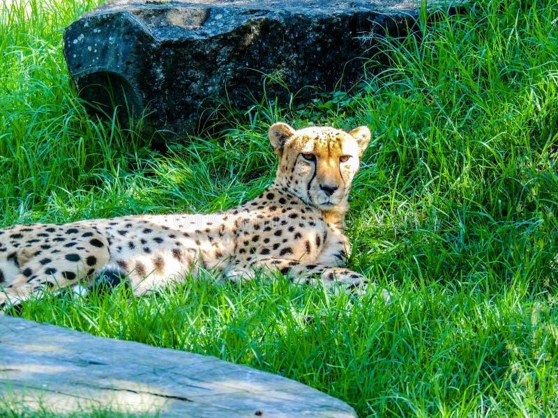 猎豹放松在树荫下的,奥克兰,动物园,奥克兰新西兰 免版税库存照片