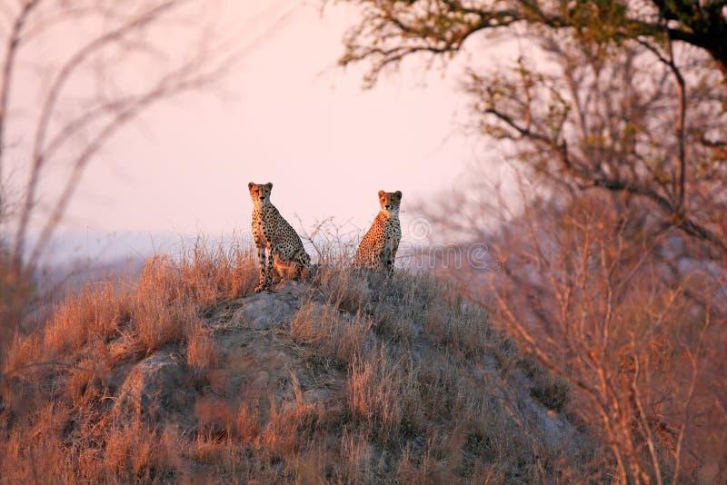 猎豹日出 图库摄影