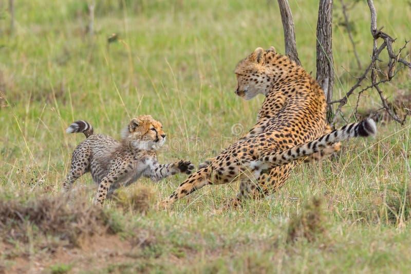 猎豹母亲& Cub战斗,马塞语玛拉,肯尼亚 库存照片