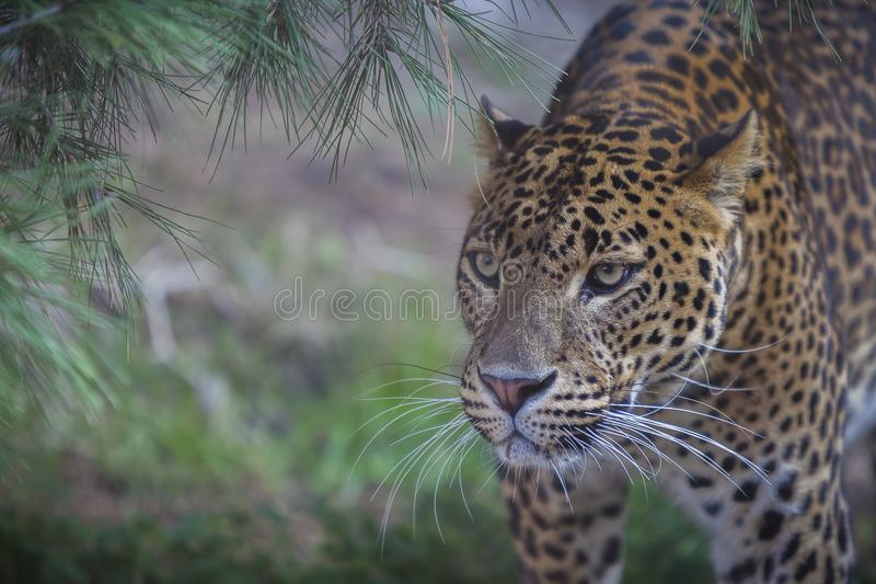 猎豹的照片 库存照片
