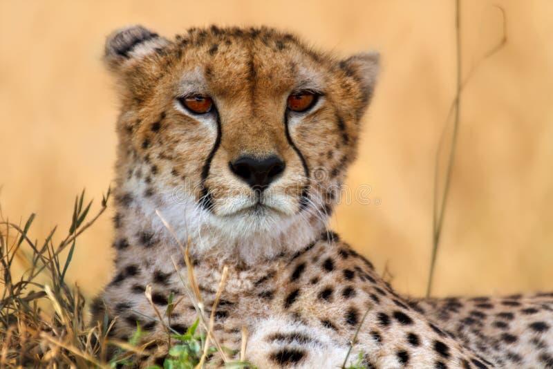 猎豹纵向,马塞语Mara 图库摄影