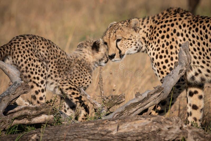 猎豹鼻插入在注册草的崽 图库摄影