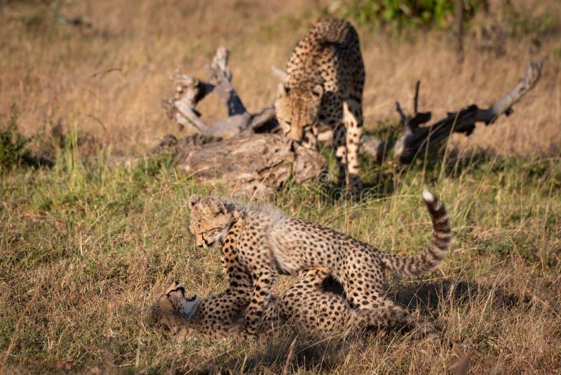 猎豹鼻插入崽作为两其他使用 库存照片