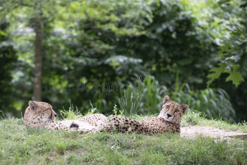 猎豹,猎豹属jubatus,放置在草的两头猎豹 免版税库存照片