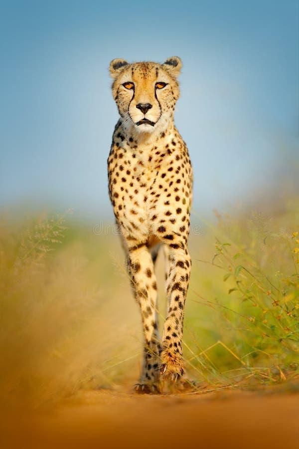 猎豹,猎豹属jubatus,走的野生猫 在土地的最快速的哺乳动物,博茨瓦纳,非洲 在石渣路的猎豹,在森林斑点 免版税图库摄影