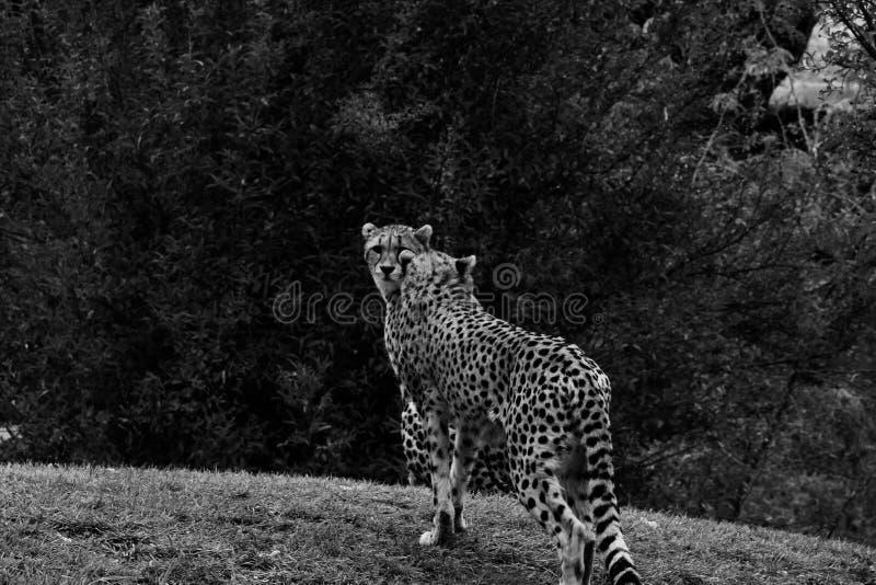 猎豹,猎豹属jubatus,走的野生猫 在土地的最快速的哺乳动物,博茨瓦纳,非洲 在草,黑暗的天空的猎豹 库存照片