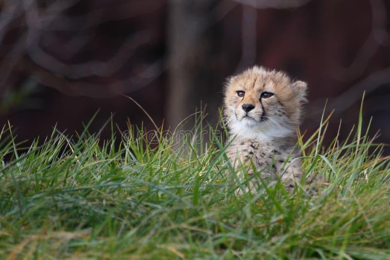 猎豹崽拍摄了serngeti坦桑尼亚 库存照片
