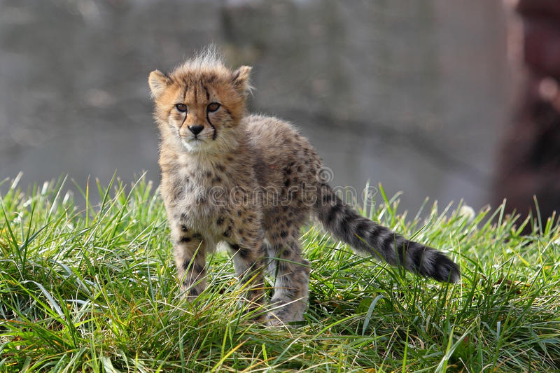 猎豹崽拍摄了serngeti坦桑尼亚 免版税库存照片
