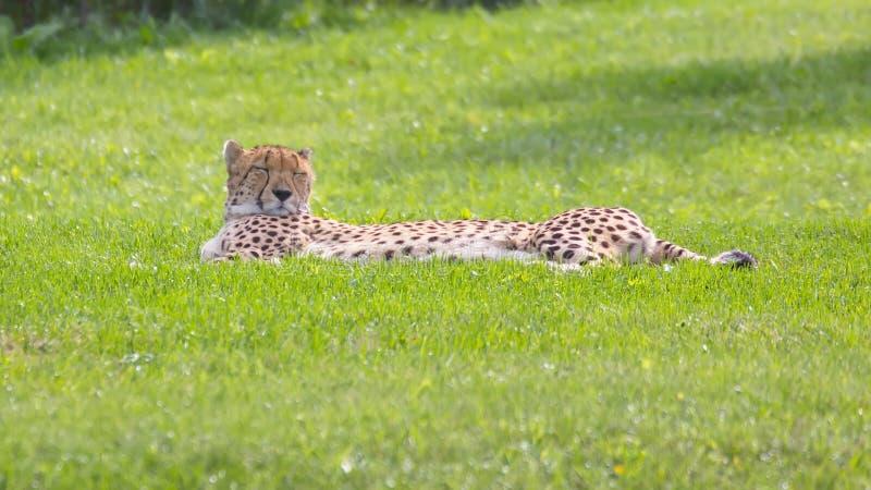 Download 猎豹 库存照片. 图片 包括有 眼睛, 题头, 字符, 成熟, 查找, 闭合, 长期, 食肉动物, 位于 - 72355162