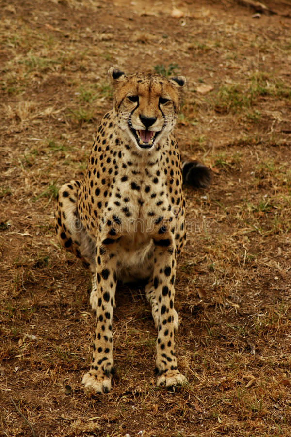 猎豹s微笑 免版税库存照片