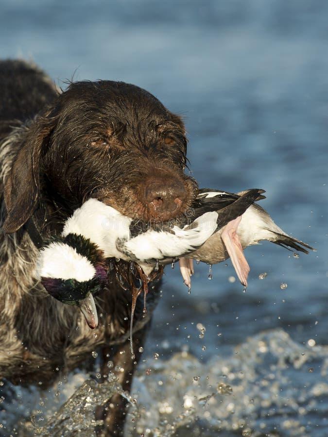 猎鸟犬 库存照片