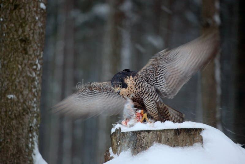猎鹰巫婆抓住鸠 从多雪的自然的野生生物场面 旅游猎鹰,鸷坐与开放翼的树干 库存照片