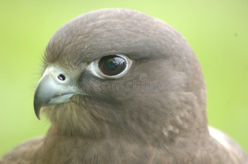 猎鹰杂种眼睛 免版税库存照片
