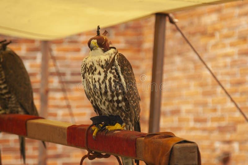 猎鹰训练术掠食性鸟戴头巾鹰 图库摄影