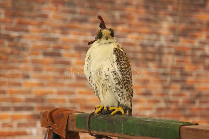 猎鹰训练术掠食性鸟戴头巾鹰 免版税库存照片