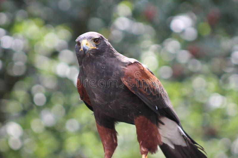 Download 猎鹰 库存照片. 图片 包括有 被平衡的, 野生生物, 公开承认, 垂直, 纵向, 猎鹰, 猛禽, 羽毛 - 22358926