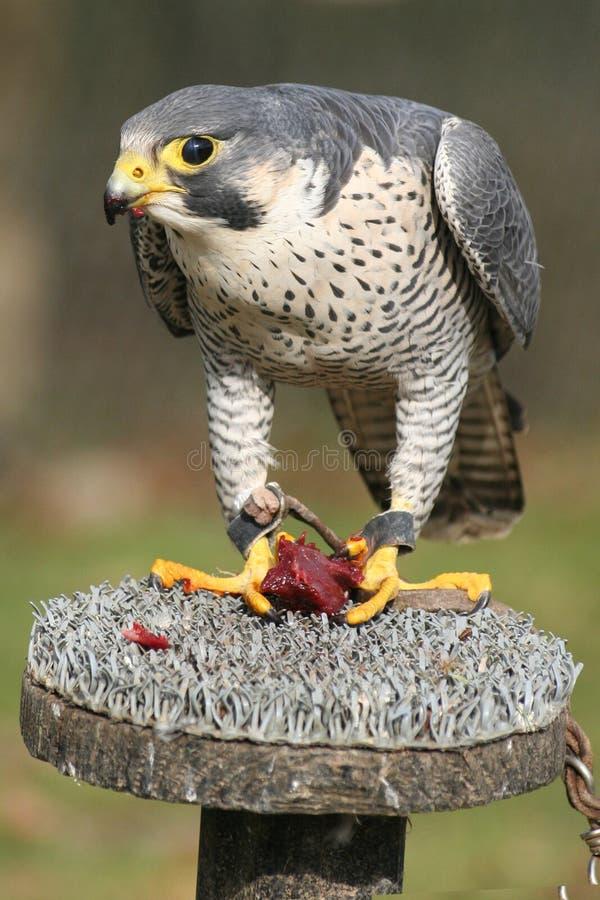 猎鹰 免版税库存照片
