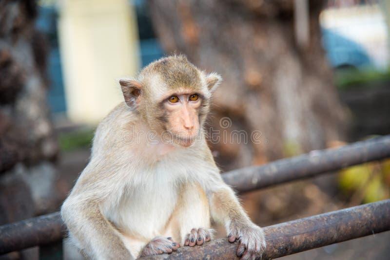 猕猴属fascicularis长尾的短尾猿家庭,螃蟹吃 图库摄影