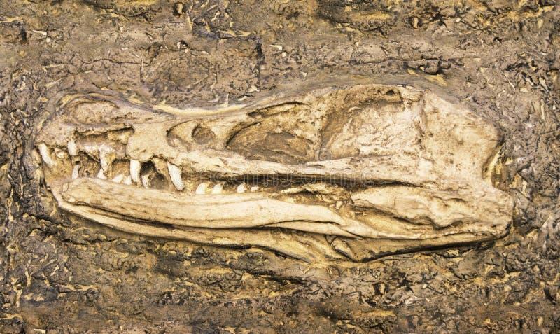 猛禽头骨模型 库存照片