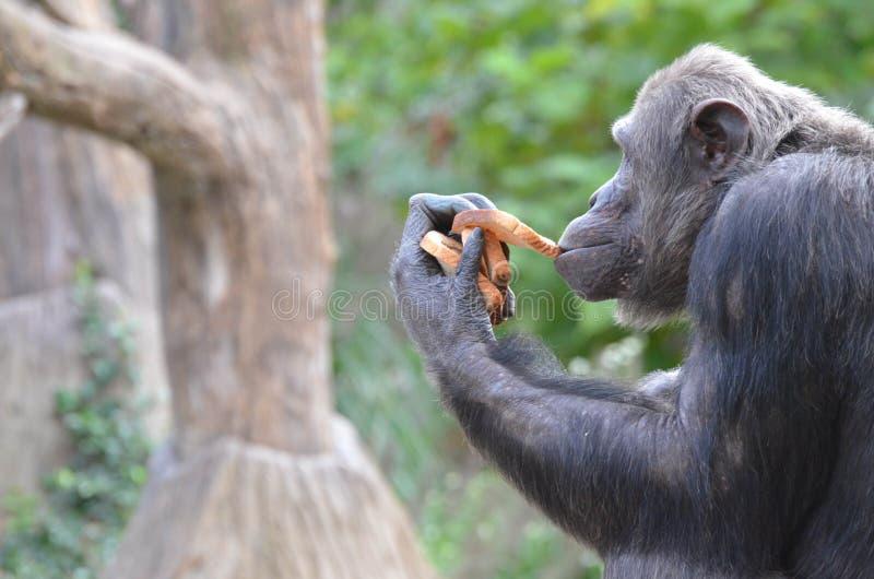 黑猩猩吃面包2 免版税库存图片