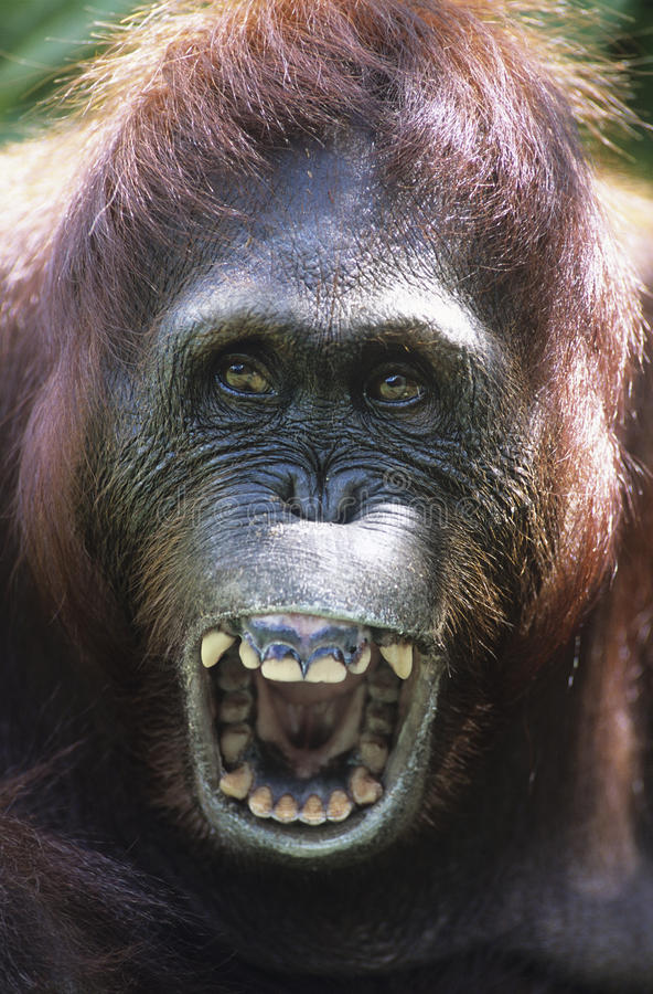 猩猩嗥叫特写镜头 图库摄影