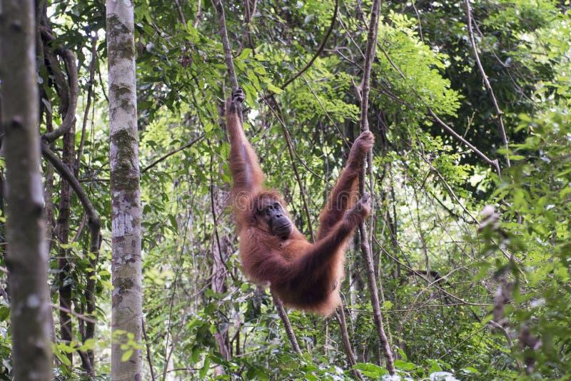 猩猩在密林 苏门答腊 免版税库存图片