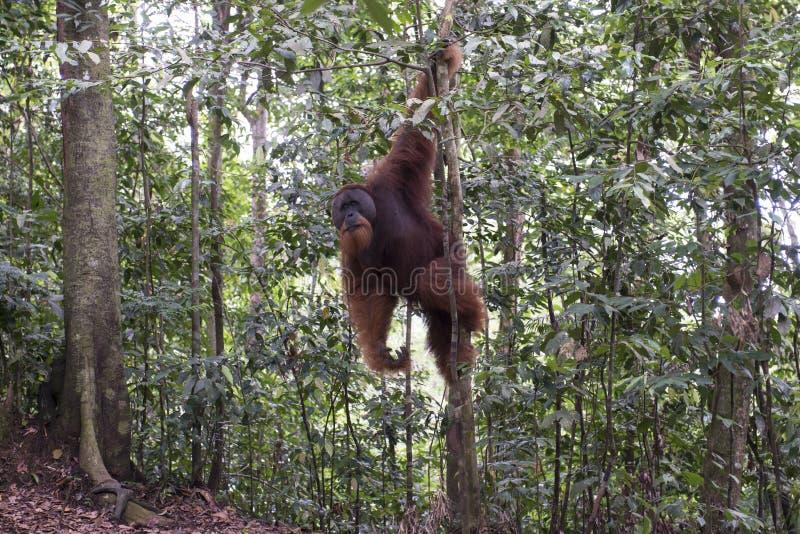 猩猩在密林 苏门答腊 库存图片