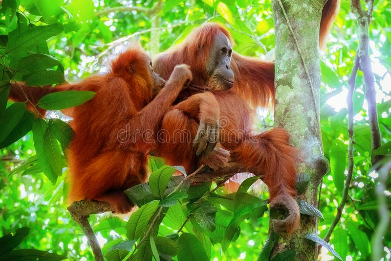 猩猩女性和逗人喜爱的婴孩 苏门答腊,印度尼西亚 免版税库存图片