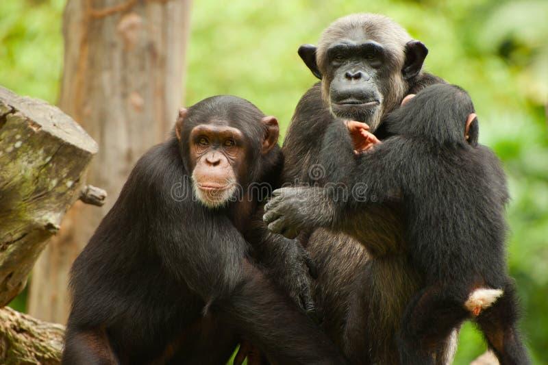 黑猩猩家庭的外形 免版税库存图片