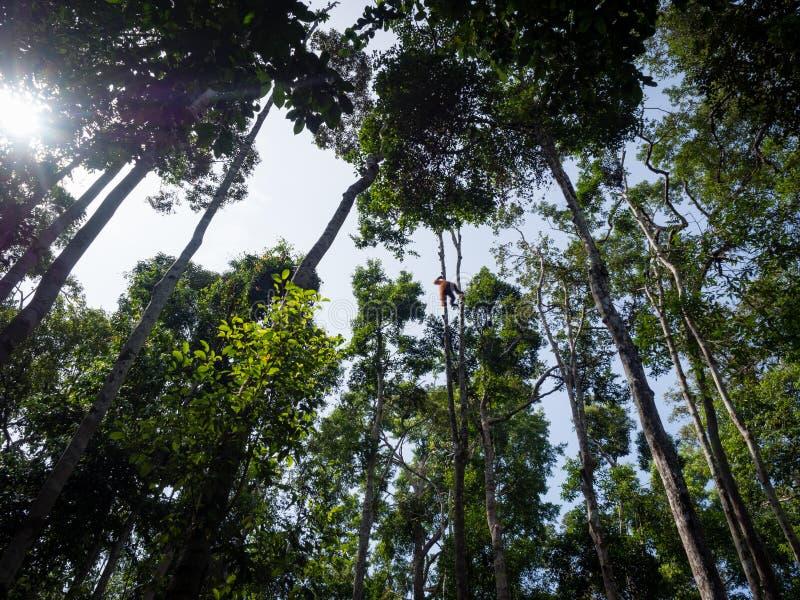 猩猩高在树在投入国家公园的丹戎在B 免版税库存图片