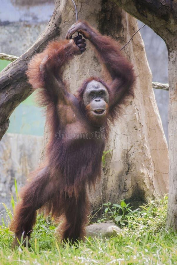 猩猩,其中一只黑猩猩当地对印度尼西亚和马来西亚 免版税库存照片