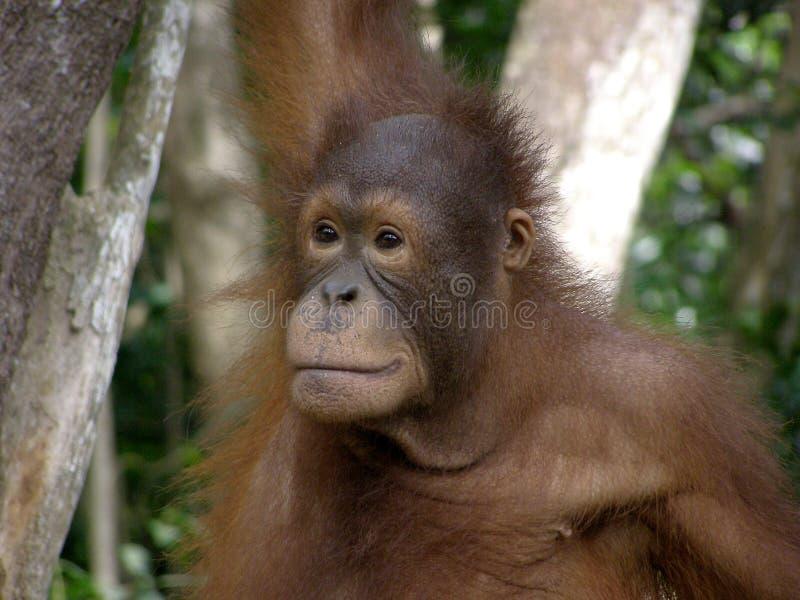 猩猩 库存图片