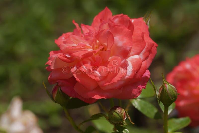 猩红色上升了与芽的异常的形状 免版税库存照片