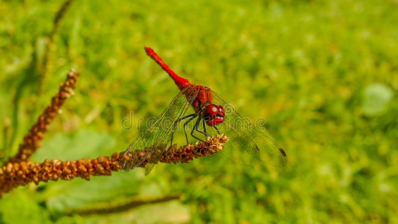 猩红色在绿色背景的蜻蜓昆虫 库存照片