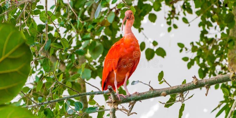 猩红色朱鹭鸟由羽毛的带红色着色,Eudocimus ruber,在老Po的生物圈的热带趟水者敬佩 免版税库存照片