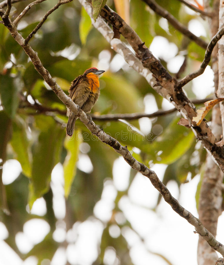 猩红色被加冠的热带巨嘴鸟 免版税库存图片
