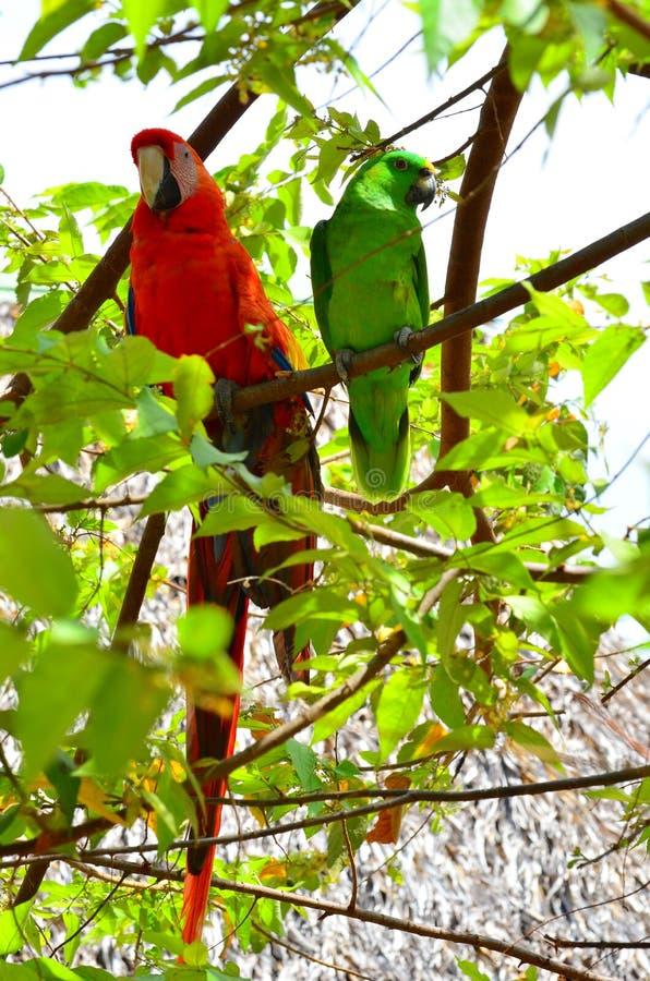 猩红色金刚鹦鹉和绿色鹦鹉 免版税库存图片