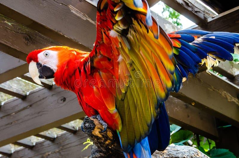 猩红色金刚鹦鹉鸟 免版税图库摄影