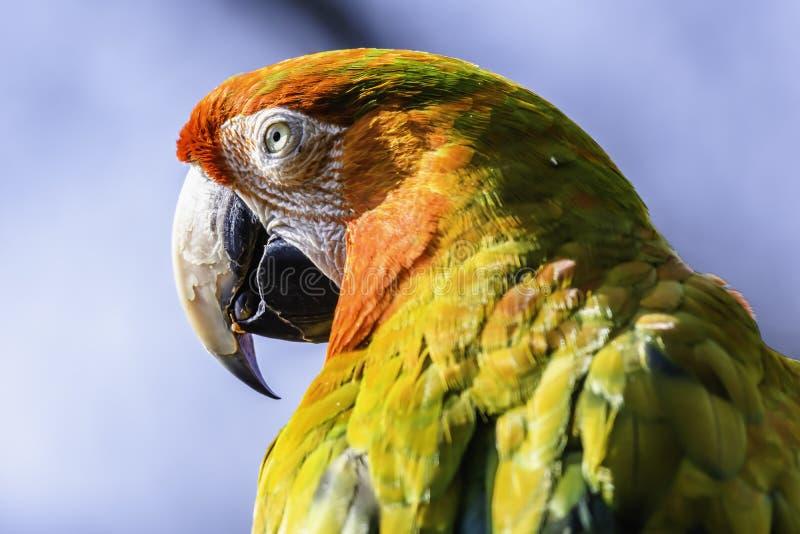 猩红色金刚鹦鹉鹦鹉接近的外形画象  库存图片